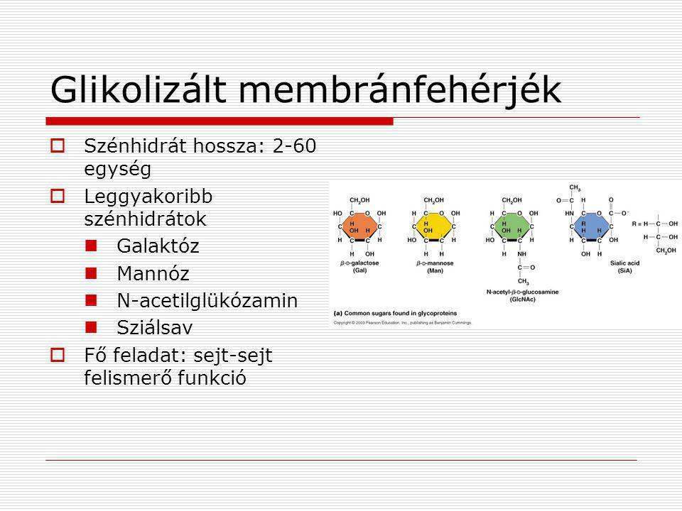 Glikolizált membránfehérjék  Szénhidrát hossza: 2-60 egység  Leggyakoribb szénhidrátok  Galaktóz  Mannóz  N-acetilglükózamin  Sziálsav  Fő fela