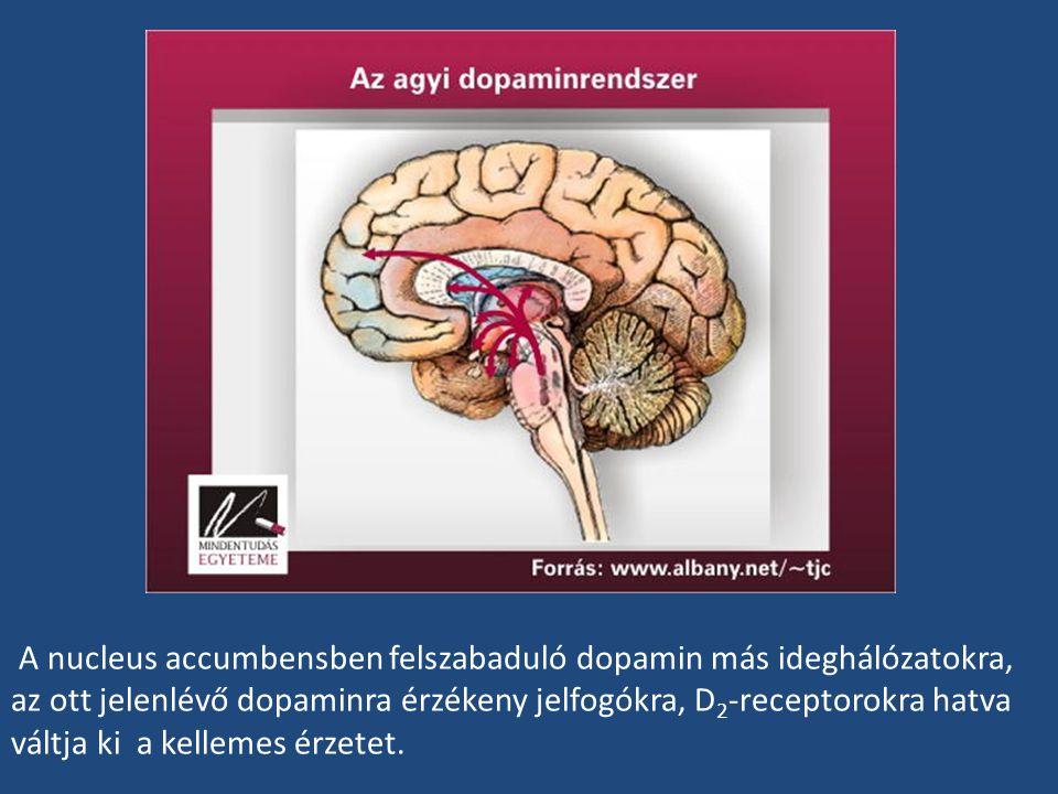 A nucleus accumbensben felszabaduló dopamin más ideghálózatokra, az ott jelenlévő dopaminra érzékeny jelfogókra, D 2 -receptorokra hatva váltja ki a k