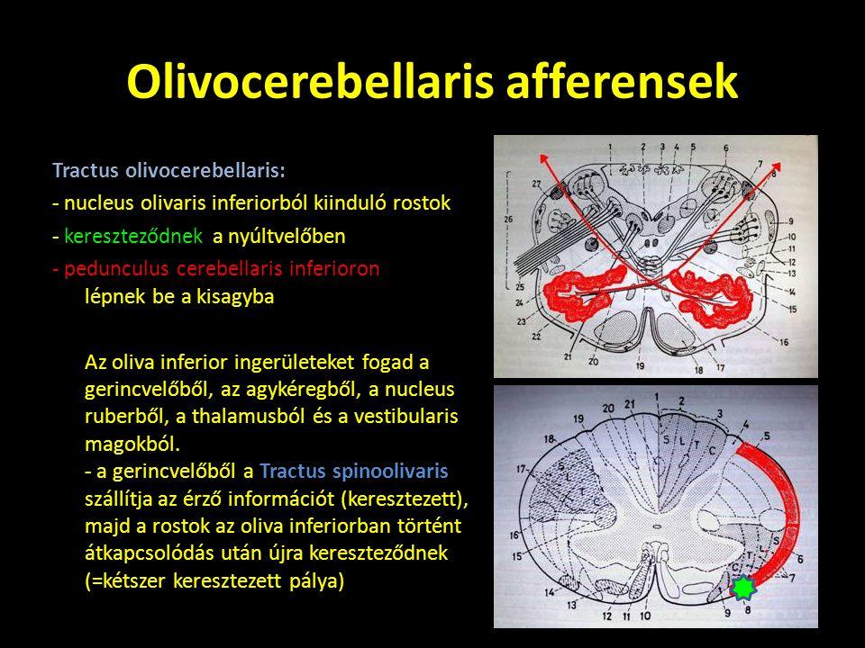 Kisagy afferens pályái 1.Spinocerebellaris afferensek: - gerincvelőből érkező pályák - moharostokkal végződnek - spinocerebellum / palaeocerebellum: (vermis, uvula) 2.Vestibulocerebellaris afferensek: - egyensúlyozó rendszerből érkező pályák - moharostokkal végződnek - vestibulocerebellum / archicerebellum (nodulus, flocculus) 3.Pontocerebellaris afferensek: - hídban átkapcsolódó, agykéregből induló pályák - moharostokkal végződnek - corticocerebellum / neocerebellum (hemispheriumok) 4.Olivocerebellaris afferensek: - oliva inferiorban átkapcsolódó pályák - kúszórostokkal végződnek