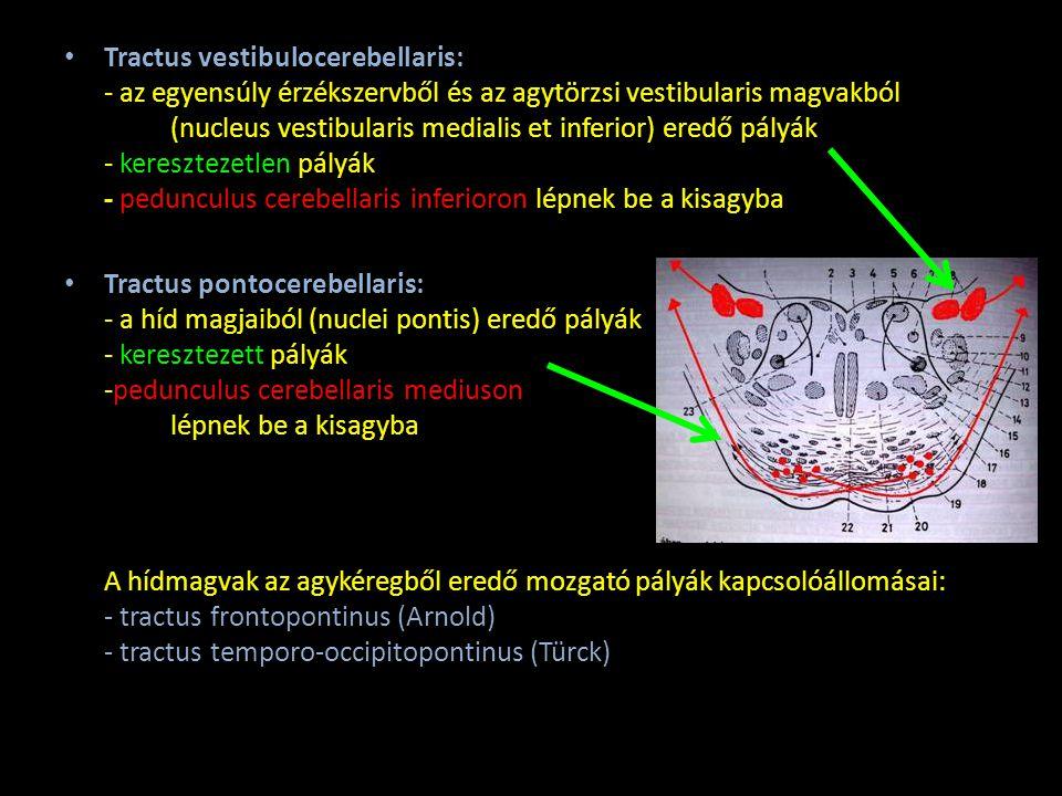 Kisagykéreg mikroszkópos szerkezete 1.Stratum moleculare: - paralellrostok - kosársejtek - csillagsejtek - dendritek elágazódása 2.Stratum ganglionare - Purkinje-sejtek 3.