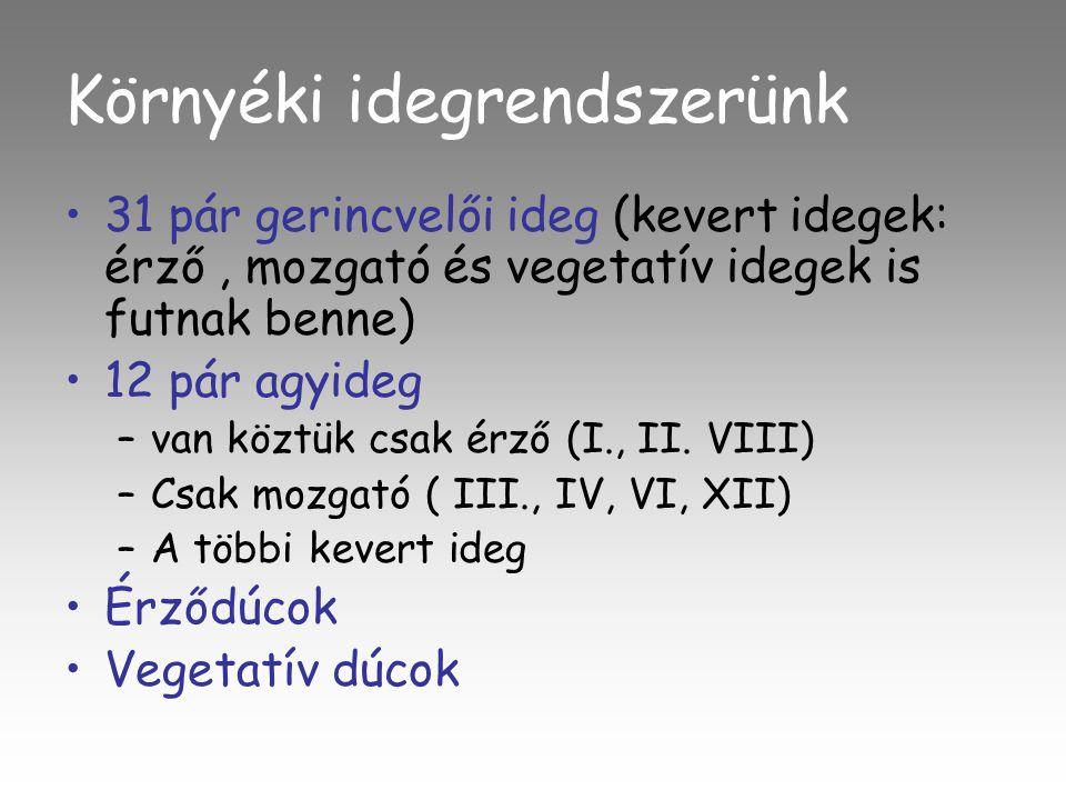 Környéki idegrendszerünk •31 pár gerincvelői ideg (kevert idegek: érző, mozgató és vegetatív idegek is futnak benne) •12 pár agyideg –van köztük csak érző (I., II.