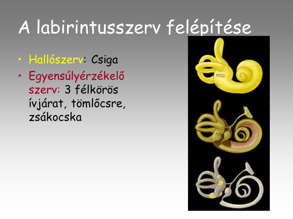 A labirintusszerv felépítése •Hallószerv: Csiga •Egyensúlyérzékelő szerv: 3 félkörös ívjárat, tömlőcsre, zsákocska