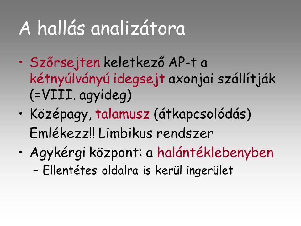 A hallás analizátora •Szőrsejten keletkező AP-t a kétnyúlványú idegsejt axonjai szállítják (=VIII.