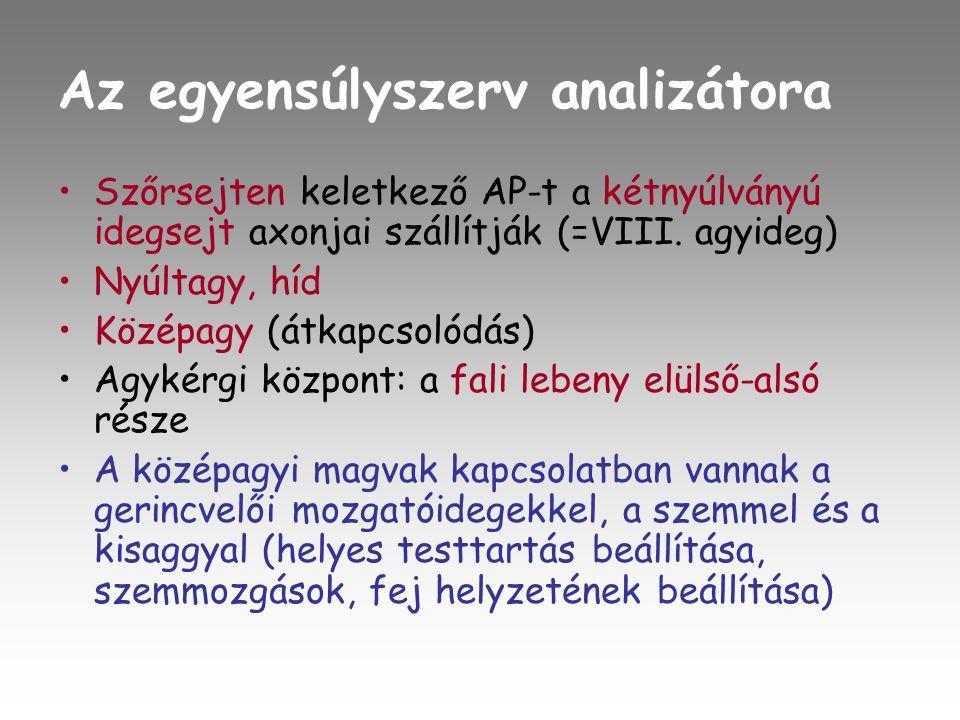 Az egyensúlyszerv analizátora •Szőrsejten keletkező AP-t a kétnyúlványú idegsejt axonjai szállítják (=VIII.