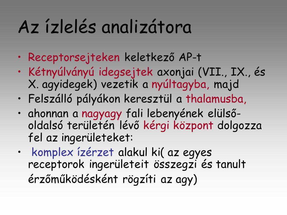 Az ízlelés analizátora •R•Receptorsejteken keletkező AP-t •K•Kétnyúlványú idegsejtek axonjai (VII., IX., és X.