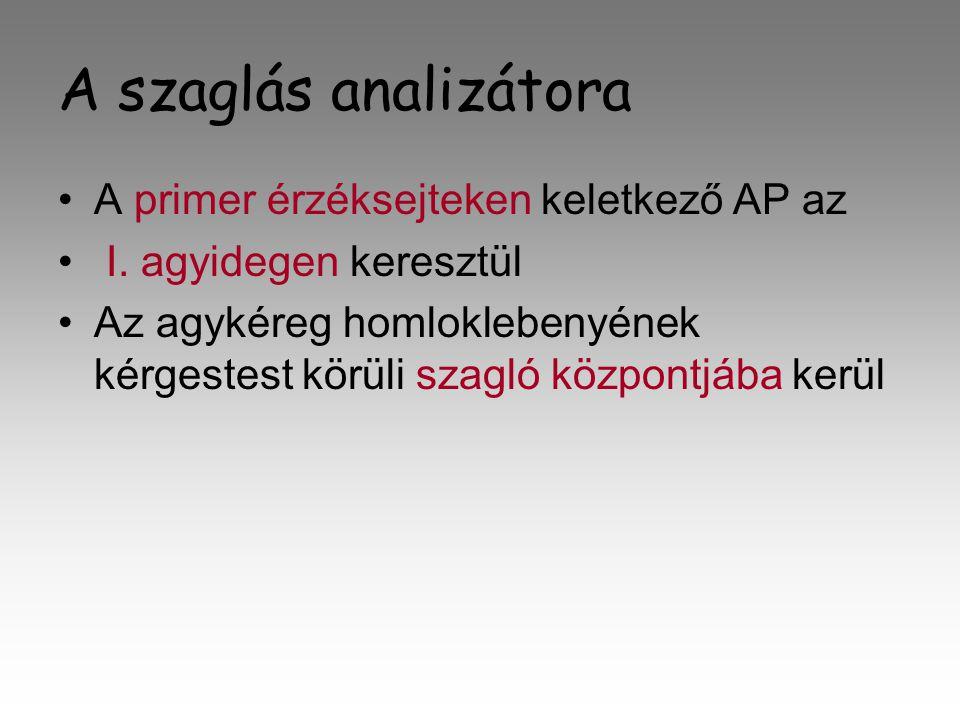 A szaglás analizátora •A•A primer érzéksejteken keletkező AP az • I• I.