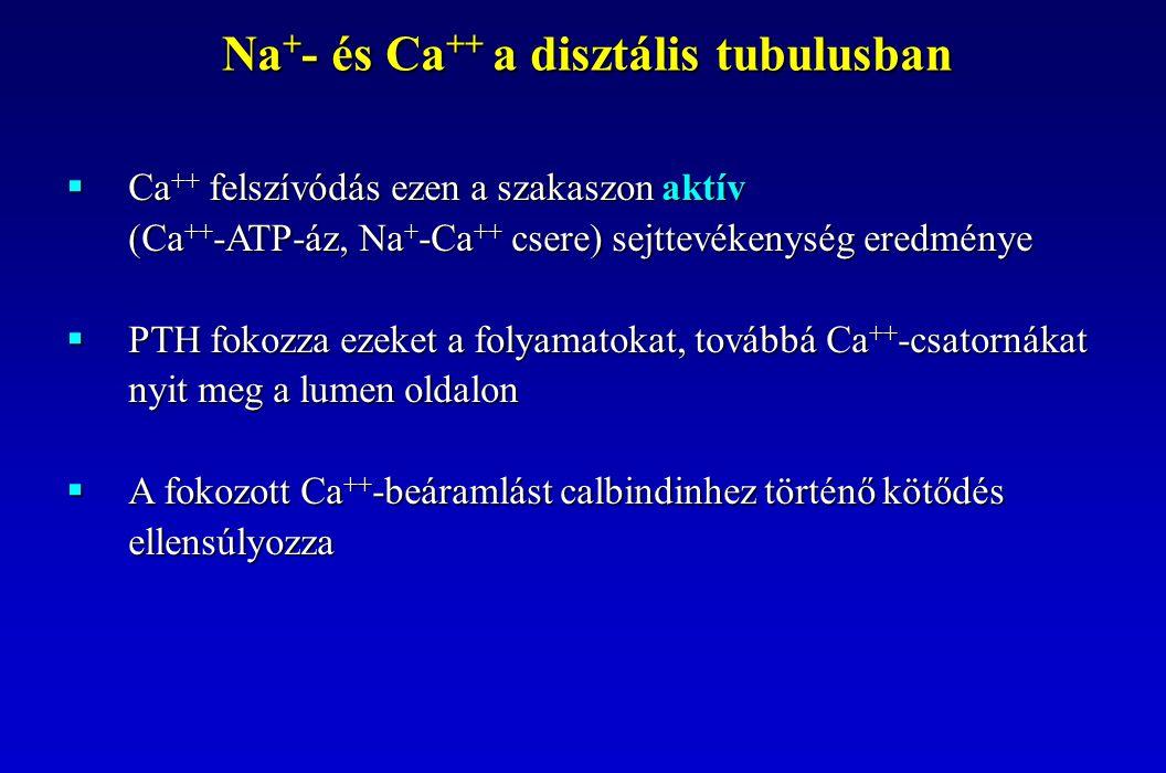  Ca ++ felszívódás ezen a szakaszon aktív (Ca ++ -ATP-áz, Na + -Ca ++ csere) sejttevékenység eredménye  PTH fokozza ezeket a folyamatokat, továbbá C