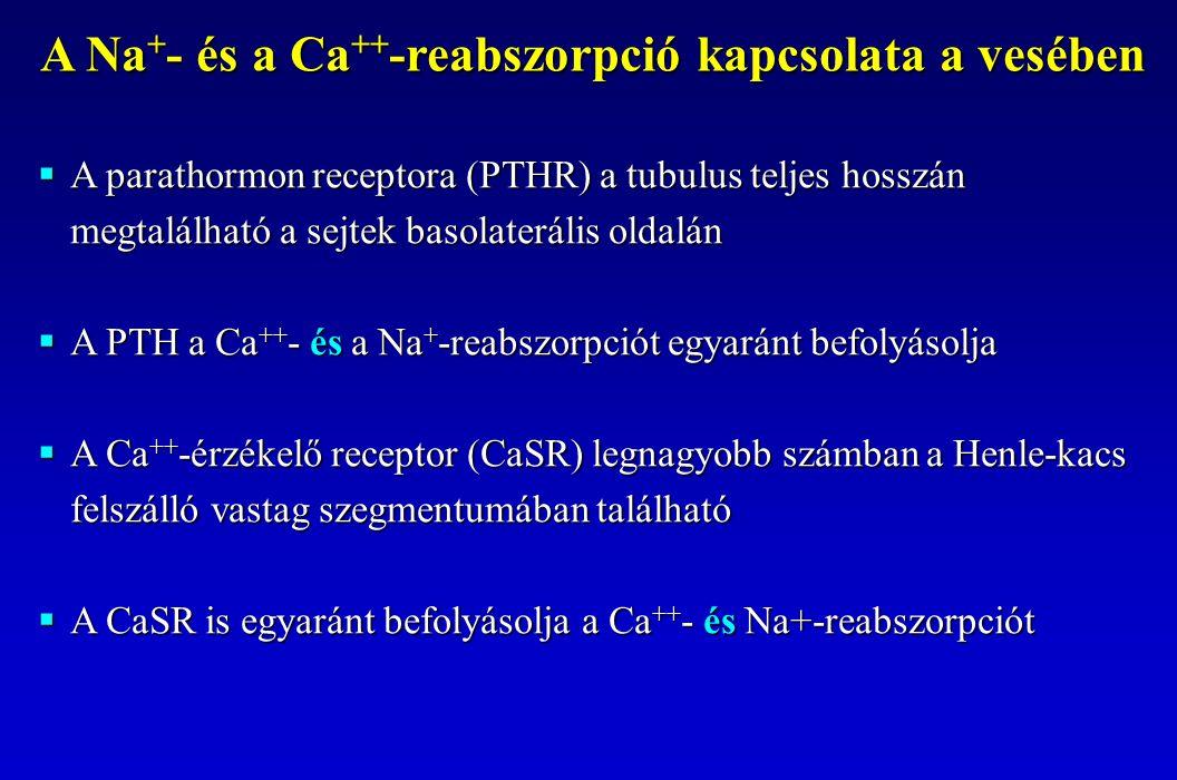  A parathormon receptora (PTHR) a tubulus teljes hosszán megtalálható a sejtek basolaterális oldalán  A PTH a Ca ++ - és a Na + -reabszorpciót egyar