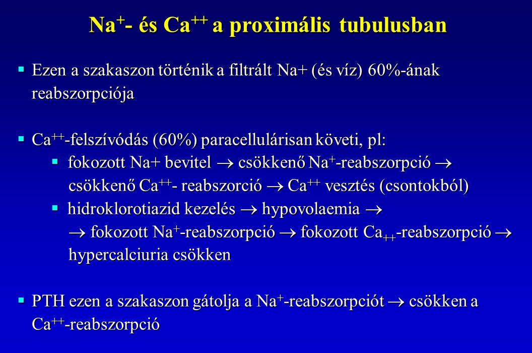  Ezen a szakaszon történik a filtrált Na+ (és víz) 60%-ának reabszorpciója  Ca ++ -felszívódás (60%) paracellulárisan követi, pl:  fokozott Na+ bev
