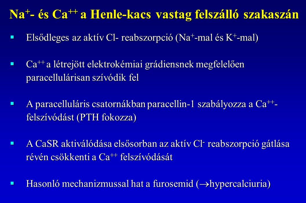  Elsődleges az aktív Cl- reabszorpció (Na + -mal és K + -mal)  Ca ++ a létrejött elektrokémiai grádiensnek megfelelően paracellulárisan szívódik fel