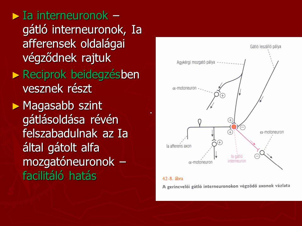 ► Ia interneuronok – gátló interneuronok, Ia afferensek oldalágai végződnek rajtuk ► Reciprok beidegzésben vesznek részt ► Magasabb szint gátlásoldása
