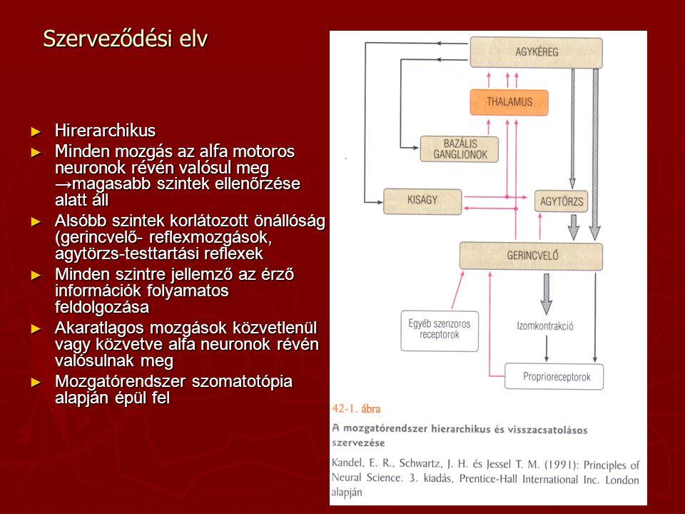 Szerveződési elv ► Hirerarchikus ► Minden mozgás az alfa motoros neuronok révén valósul meg →magasabb szintek ellenőrzése alatt áll ► Alsóbb szintek k