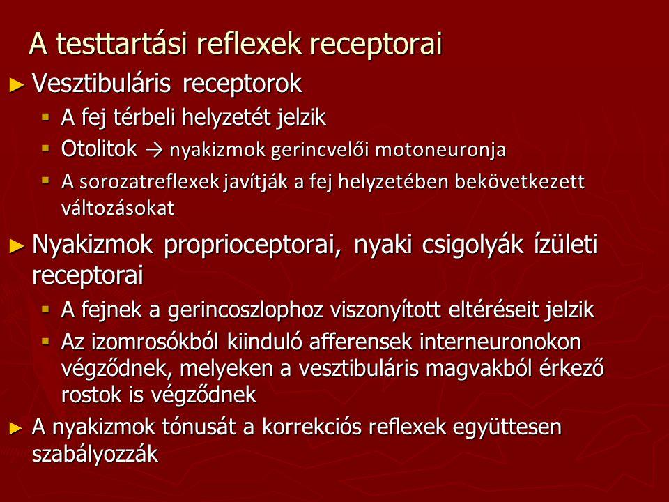 A testtartási reflexek receptorai ► Vesztibuláris receptorok  A fej térbeli helyzetét jelzik  Otolitok → nyakizmok gerincvelői motoneuronja  A soro