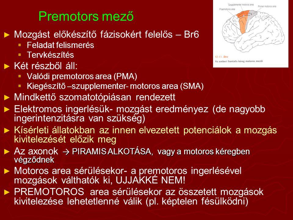 Premotors mező ► ► Mozgást előkészítő fázisokért felelős – Br6   Feladat felismerés   Tervkészítés ► ► Két részből áll:   Valódi premotoros area