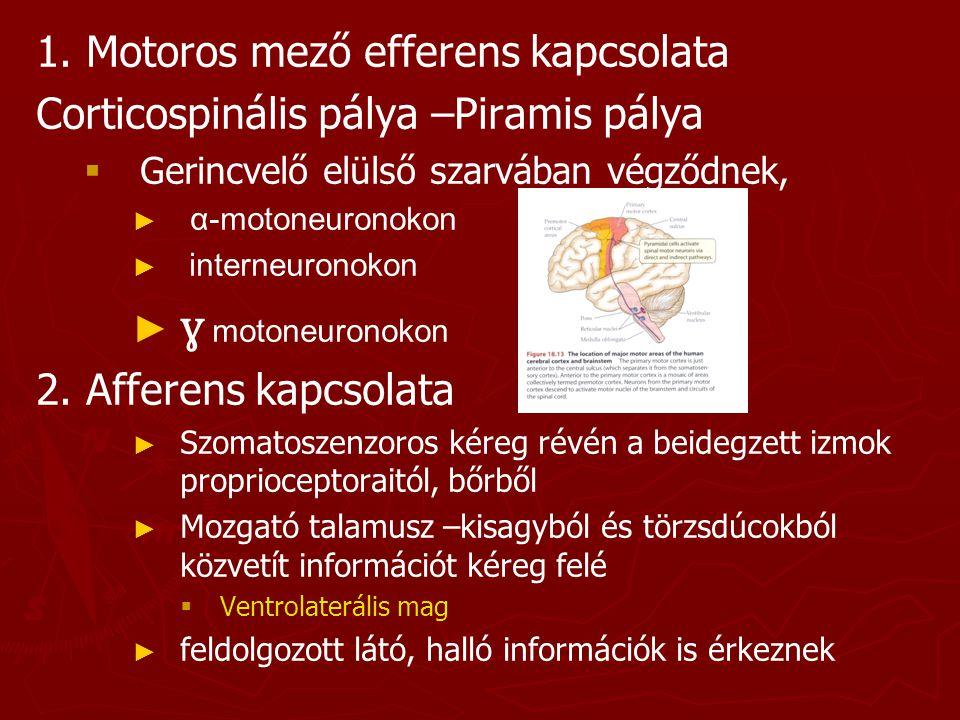 1. Motoros mező efferens kapcsolata Corticospinális pálya –Piramis pálya   Gerincvelő elülső szarvában végződnek, ► ► α-motoneuronokon ► ► interneur