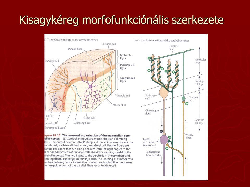 Kisagykéreg morfofunkciónális szerkezete