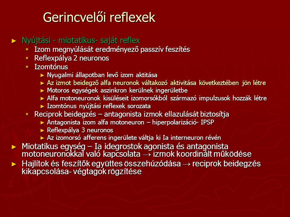 Gerincvelői reflexek ► Nyújtási - miotatikus- saját reflex  Izom megnyúlását eredményező passzív feszítés  Reflexpálya 2 neuronos  Izomtónus ► Nyug