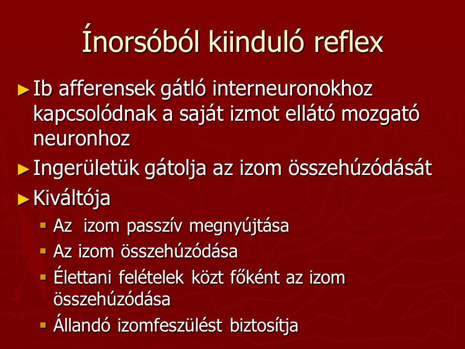 Ínorsóból kiinduló reflex ► Ib afferensek gátló interneuronokhoz kapcsolódnak a saját izmot ellátó mozgató neuronhoz ► Ingerületük gátolja az izom öss