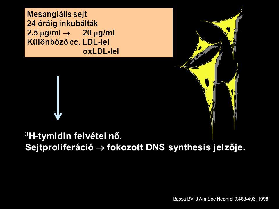 Mesangiális sejt 24 óráig inkubálták 2.5  g/ml  20  g/ml Különböző cc. LDL-lel oxLDL-lel 3 H-tymidin felvétel nő. Sejtproliferáció  fokozott DNS s