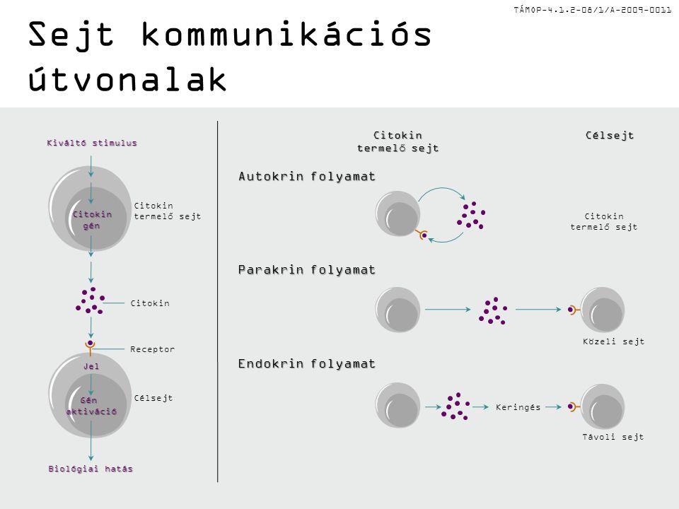 TÁMOP-4.1.2-08/1/A-2009-0011 Sejt kommunikációs útvonalak A sejtek, amik egymással kommunikálnak egymáshoz viszonyítva közel vagy távol is elhelyezkedhetnek: •Helyi szabályozók: citokinek, kemokinek •Neurotranszmisszió: acetilkolin •Hormon: szteroid és peptid A sejtek direkt kapcsolatok révén is képesek kommunikálni: •Sejt-junkciókon keresztül, ami a citoplazma folytonosságát biztosítja •Adhéziós molekulákon keresztül