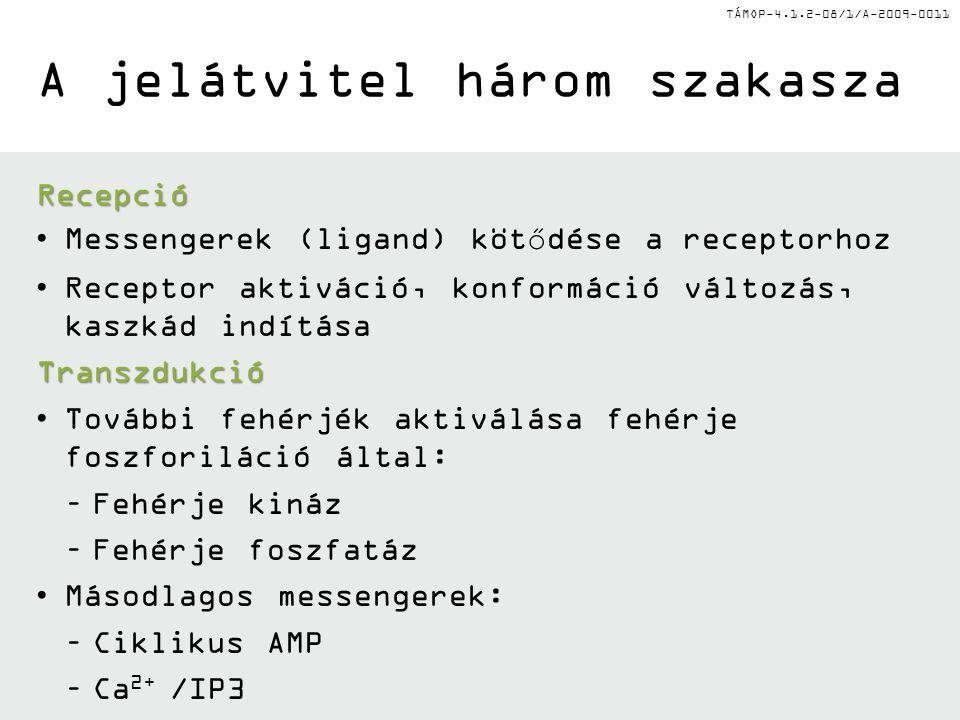 TÁMOP-4.1.2-08/1/A-2009-0011 Extracelluláris jelátviteli molekulák •Hormonok (pl.