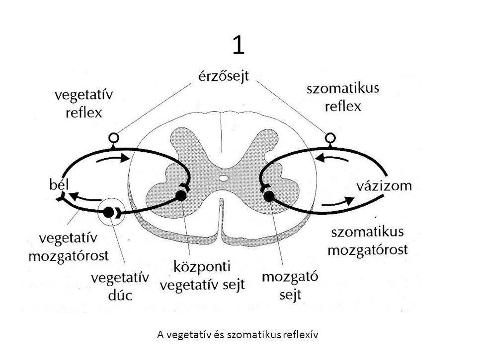 1 A vegetatív és szomatikus reflexív