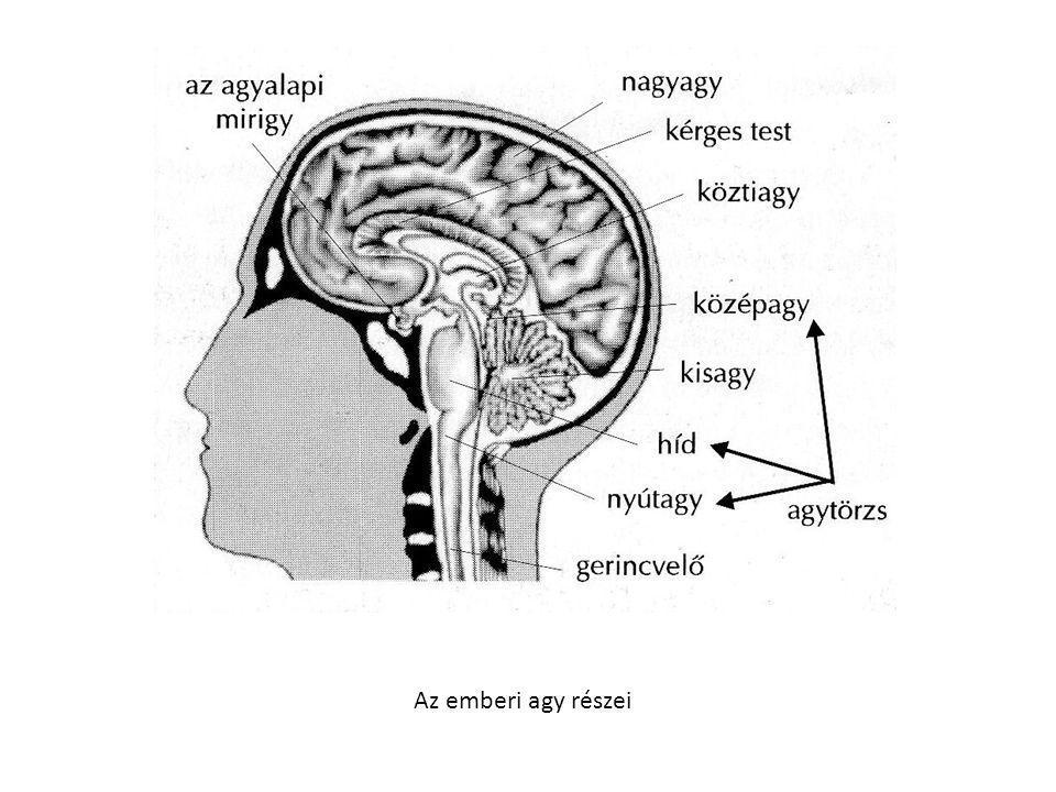 • pajzsmirigy: hormonjai: • a tiroxin és T3,T4 alapvető anyagcserehormonok, fokozzák a sejtmembrán áteresztőképességét.