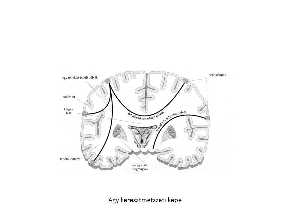 Hipotalamusz • kissejtes magok: kis sejtekből állnak,belső elválasztású mirigyként viselkednek, a hipofizist szabályzó és gátló faktorokat termelnek, melyeket érhálózaton keresztül juttatják • a hipofízis elülső lebenyébe, és befolyásolják annak hormontermelését • nagysejtes magok: idegsejt csoport, hormonokat termelnek, melyek az idegsejtek nyúlványain (axonjai)keresztül jutnak a hipofízis hátsó lebenyébe, ahol a hormonok raktározódik Oxitocin, antidiuretikus hormon