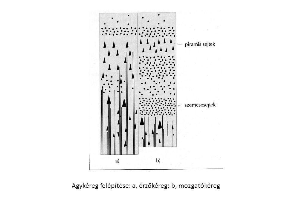 Hipofízis (agyalapi mirigy) • Az ékcsont árkában helyezkedik el.