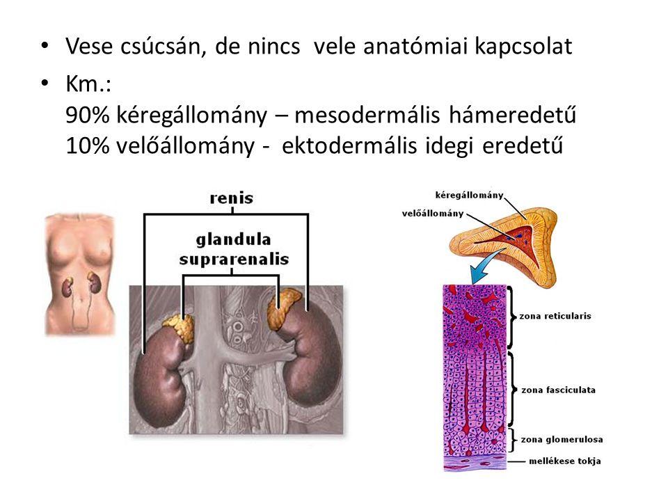 • Vese csúcsán, de nincs vele anatómiai kapcsolat • Km.: 90% kéregállomány – mesodermális hámeredetű 10% velőállomány - ektodermális idegi eredetű