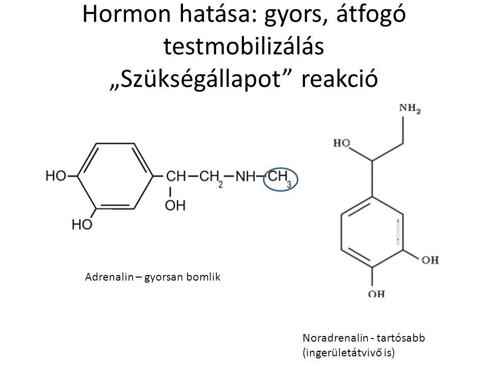 """Hormon hatása: gyors, átfogó testmobilizálás """"Szükségállapot"""" reakció Noradrenalin - tartósabb (ingerületátvivő is) Adrenalin – gyorsan bomlik"""