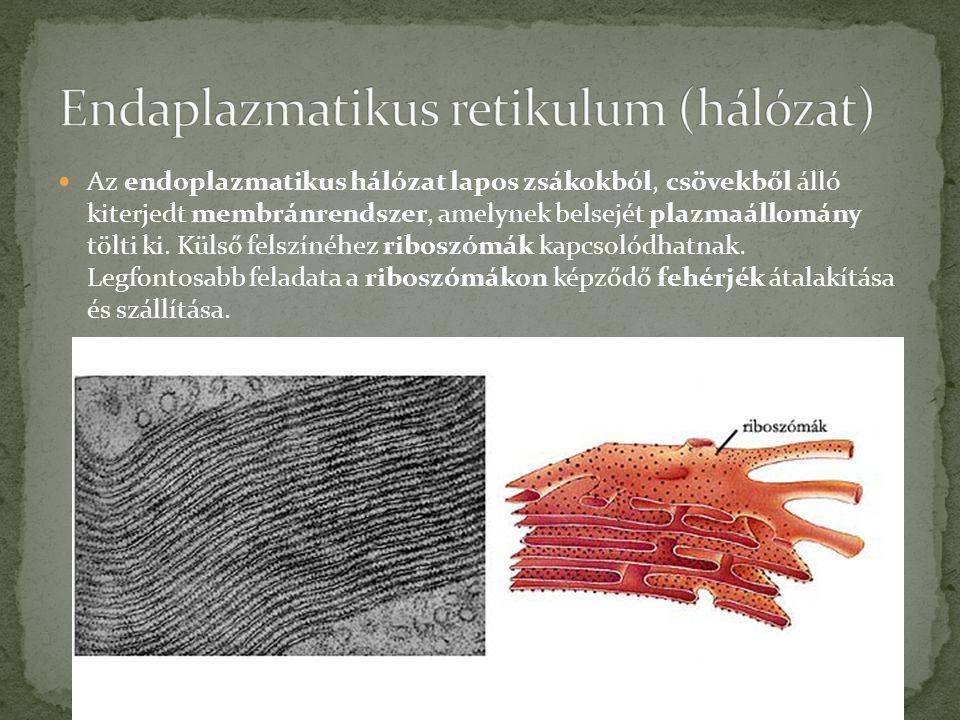  Az endoplazmatikus hálózat lapos zsákokból, csövekből álló kiterjedt membránrendszer, amelynek belsejét plazmaállomány tölti ki.