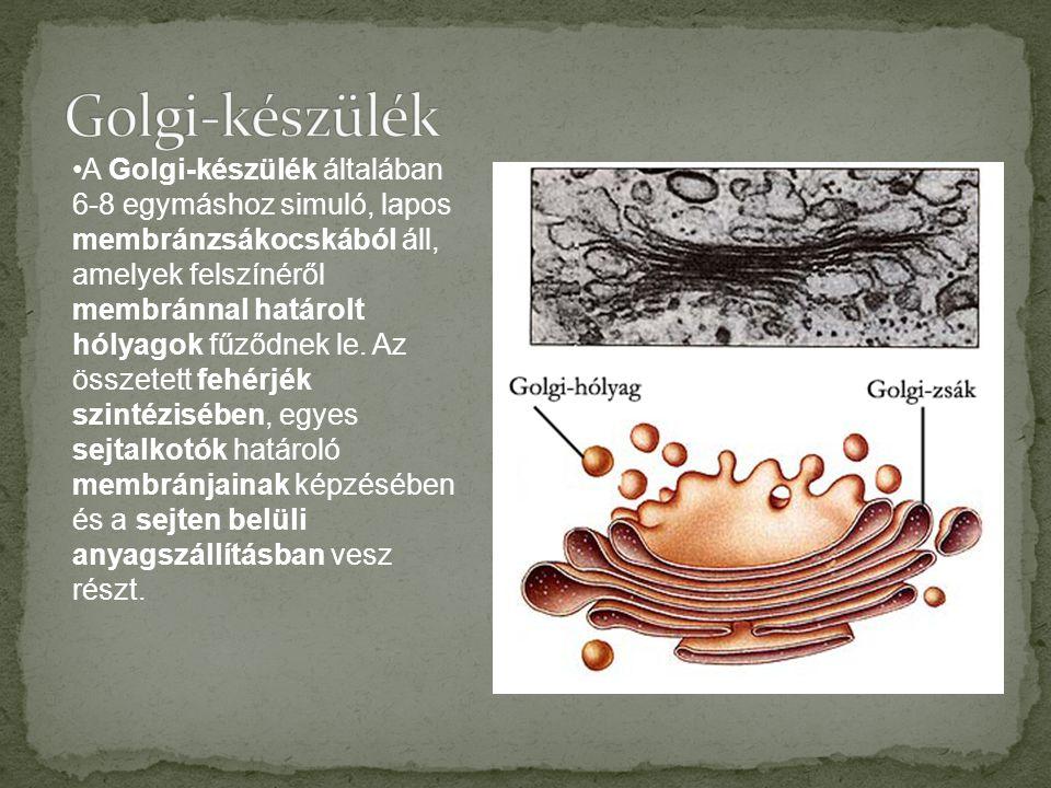 •A Golgi-készülék általában 6-8 egymáshoz simuló, lapos membránzsákocskából áll, amelyek felszínéről membránnal határolt hólyagok fűződnek le.