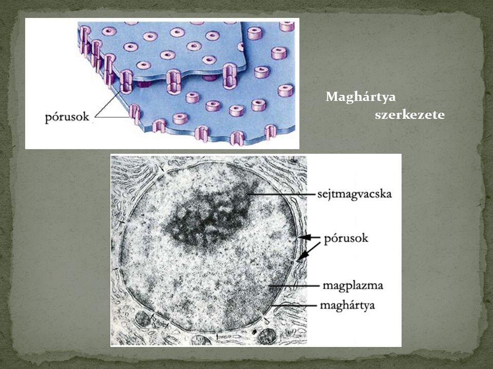 Maghártya szerkezete