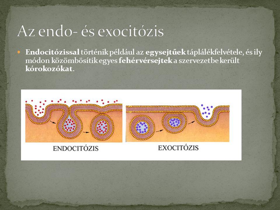  Endocitózissal történik például az egysejtűek táplálékfelvétele, és ily módon közömbösítik egyes fehérvérsejtek a szervezetbe került kórokozókat.