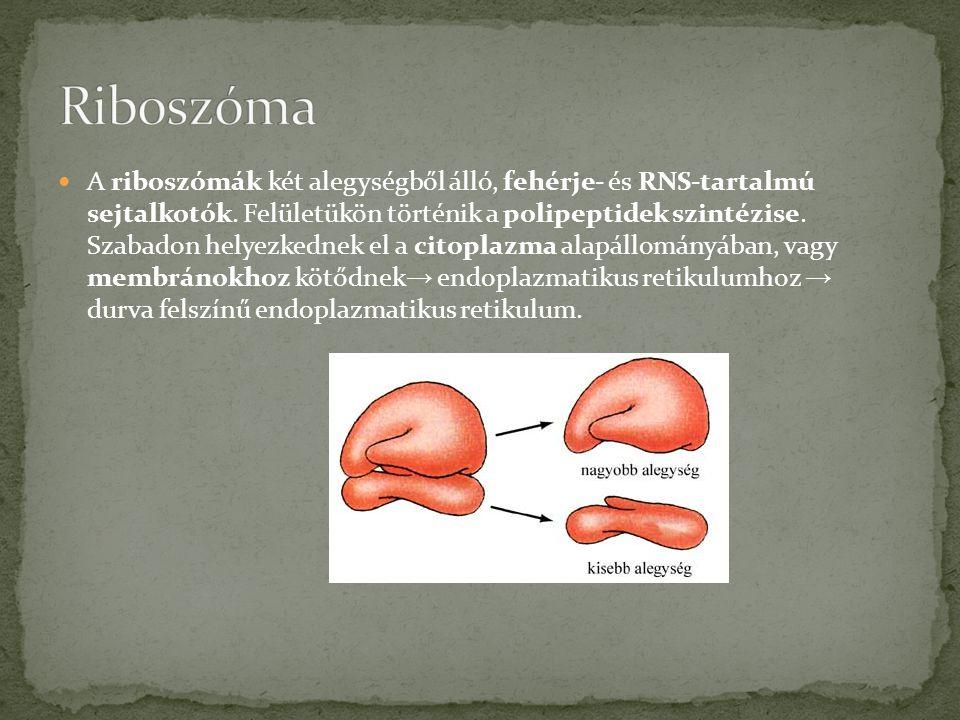  A riboszómák két alegységből álló, fehérje- és RNS-tartalmú sejtalkotók.
