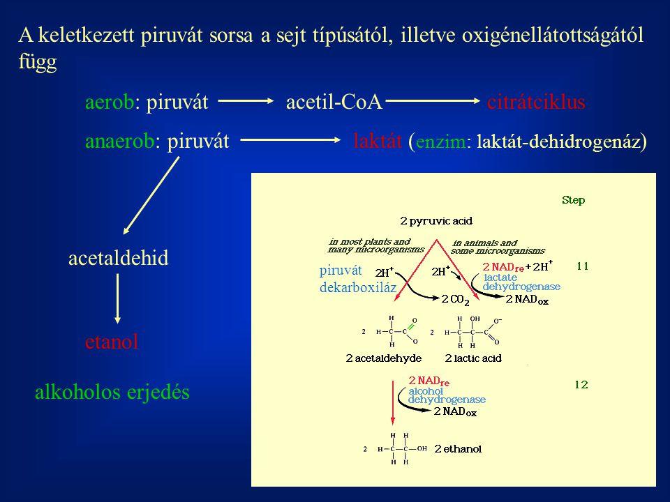 A keletkezett piruvát sorsa a sejt típúsától, illetve oxigénellátottságától függ aerob: piruvátacetil-CoAcitrátciklus anaerob: piruvátlaktát ( enzim: laktát-dehidrogenáz ) acetaldehid etanol alkoholos erjedés piruvát dekarboxiláz
