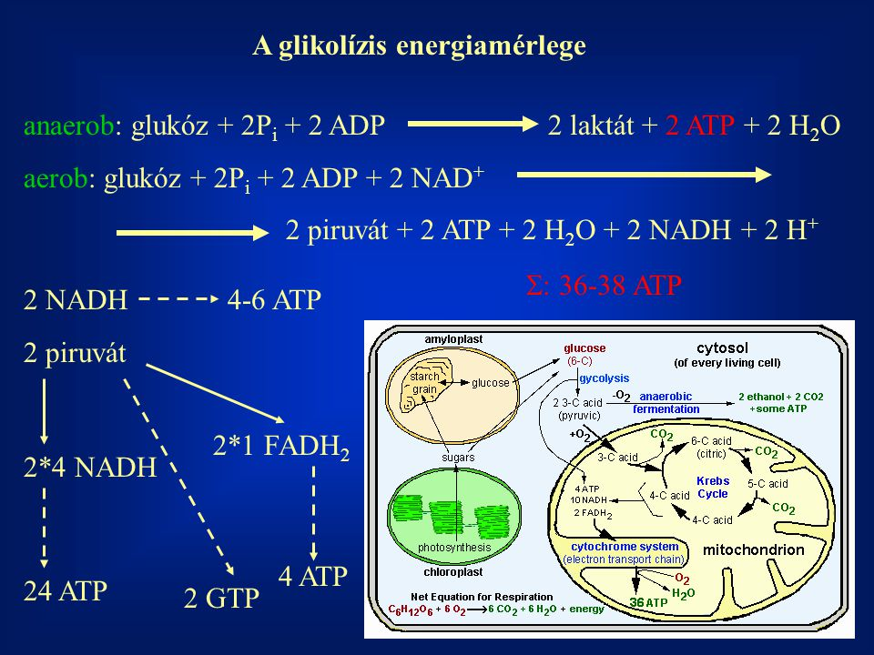 A glikolízis energiamérlege anaerob: glukóz + 2P i + 2 ADP2 laktát + 2 ATP + 2 H 2 O aerob: glukóz + 2P i + 2 ADP + 2 NAD + 2 piruvát + 2 ATP + 2 H 2 O + 2 NADH + 2 H + 2 NADH 4-6 ATP 2 piruvát 2*4 NADH 2*1 FADH 2 24 ATP 4 ATP 2 GTP  : 36-38 ATP