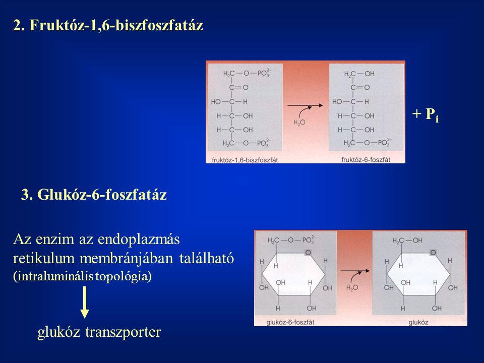 2.Fruktóz-1,6-biszfoszfatáz + P i 3.