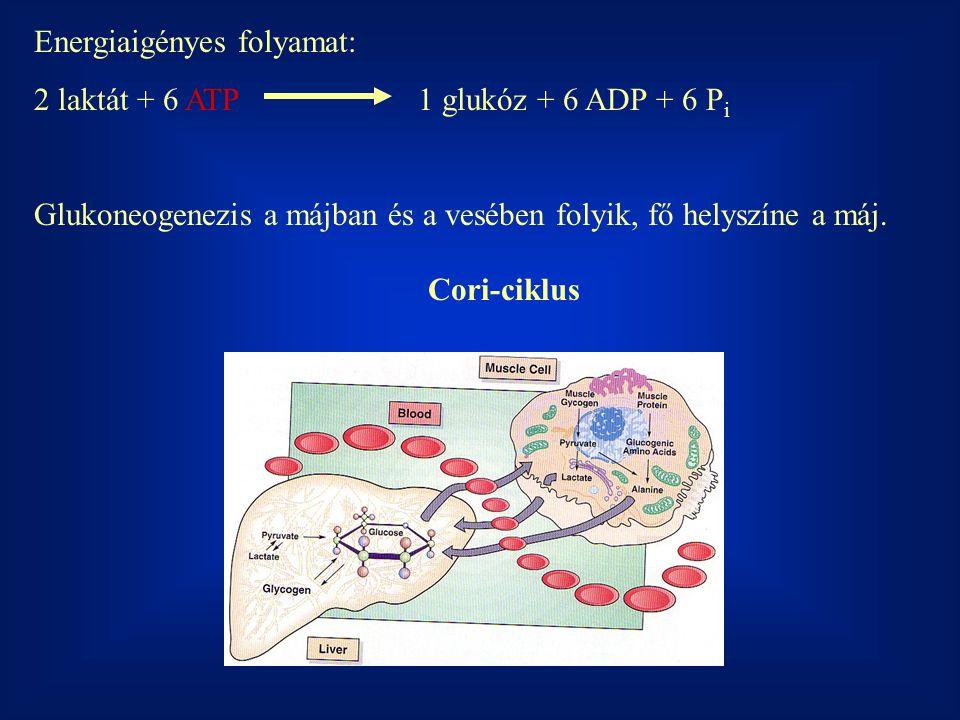 Energiaigényes folyamat: 2 laktát + 6 ATP1 glukóz + 6 ADP + 6 P i Glukoneogenezis a májban és a vesében folyik, fő helyszíne a máj.