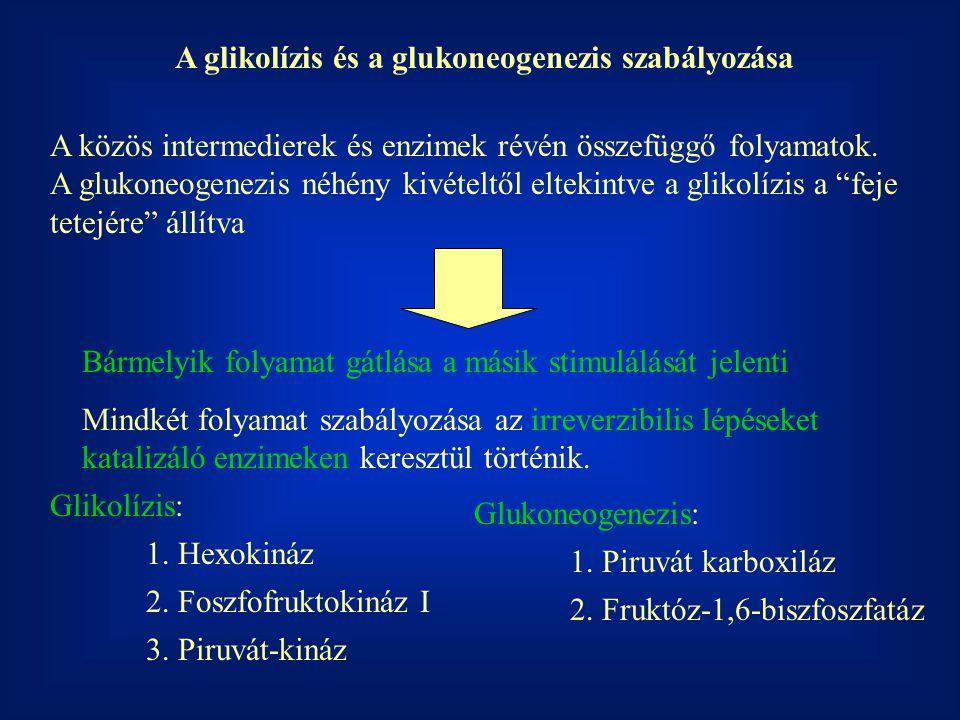 A glikolízis és a glukoneogenezis szabályozása A közös intermedierek és enzimek révén összefüggő folyamatok.