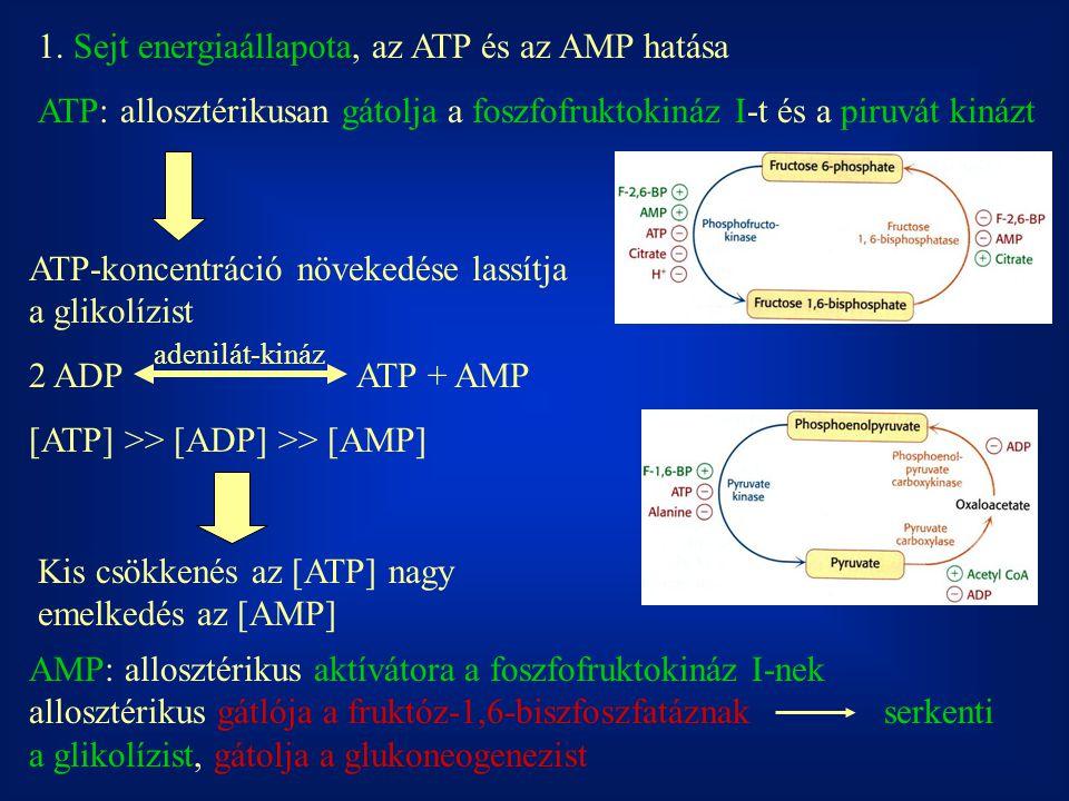 1. Sejt energiaállapota, az ATP és az AMP hatása ATP: allosztérikusan gátolja a foszfofruktokináz I-t és a piruvát kinázt ATP-koncentráció növekedése