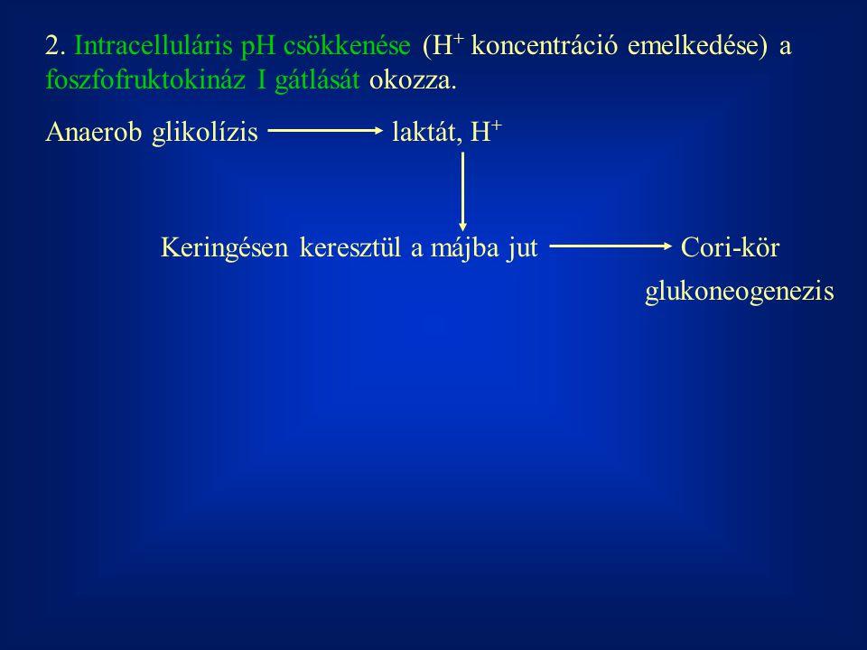 2. Intracelluláris pH csökkenése (H + koncentráció emelkedése) a foszfofruktokináz I gátlását okozza. Anaerob glikolízislaktát, H + Keringésen kereszt
