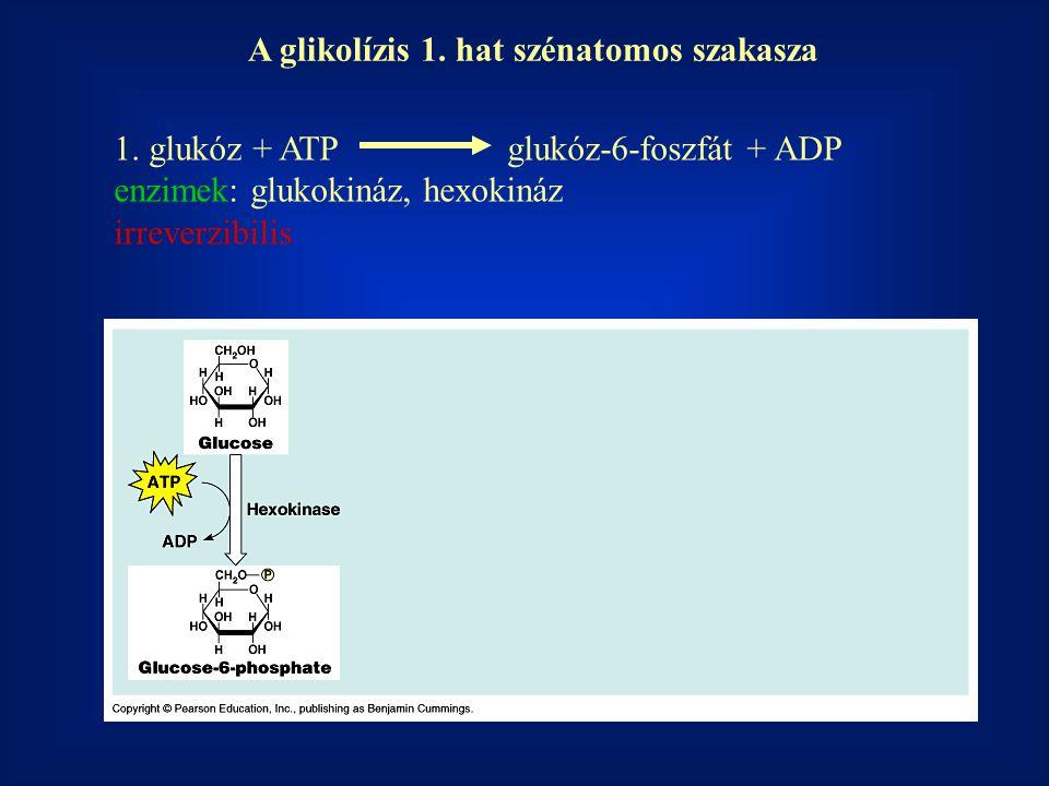 1. glukóz + ATP glukóz-6-foszfát + ADP enzimek: glukokináz, hexokináz irreverzibilis A glikolízis 1. hat szénatomos szakasza