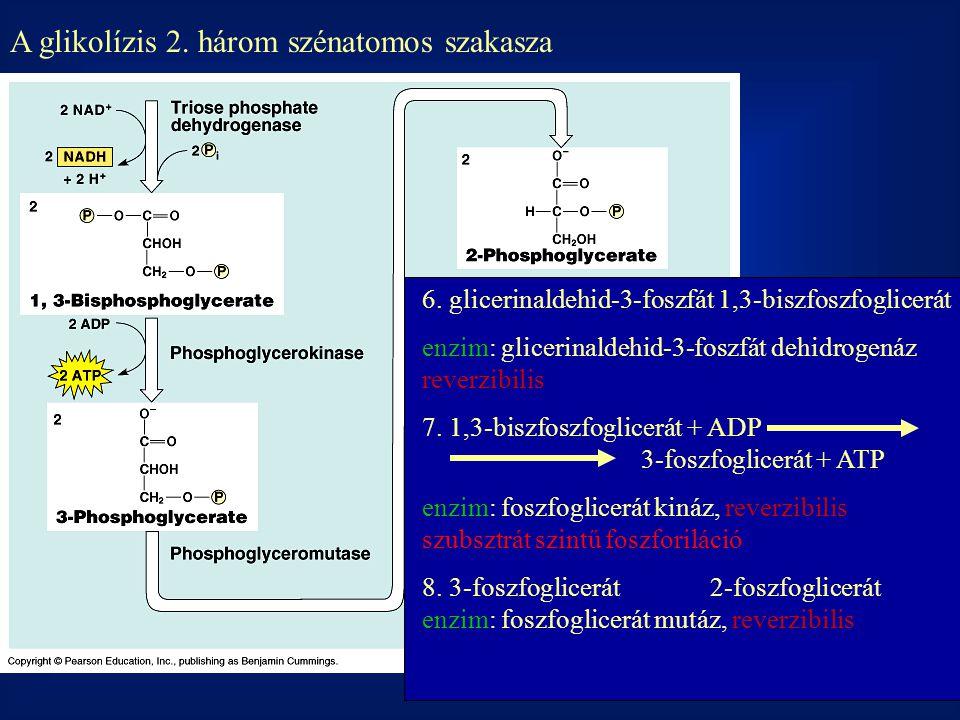 A glikolízis 2.három szénatomos szakasza 6.