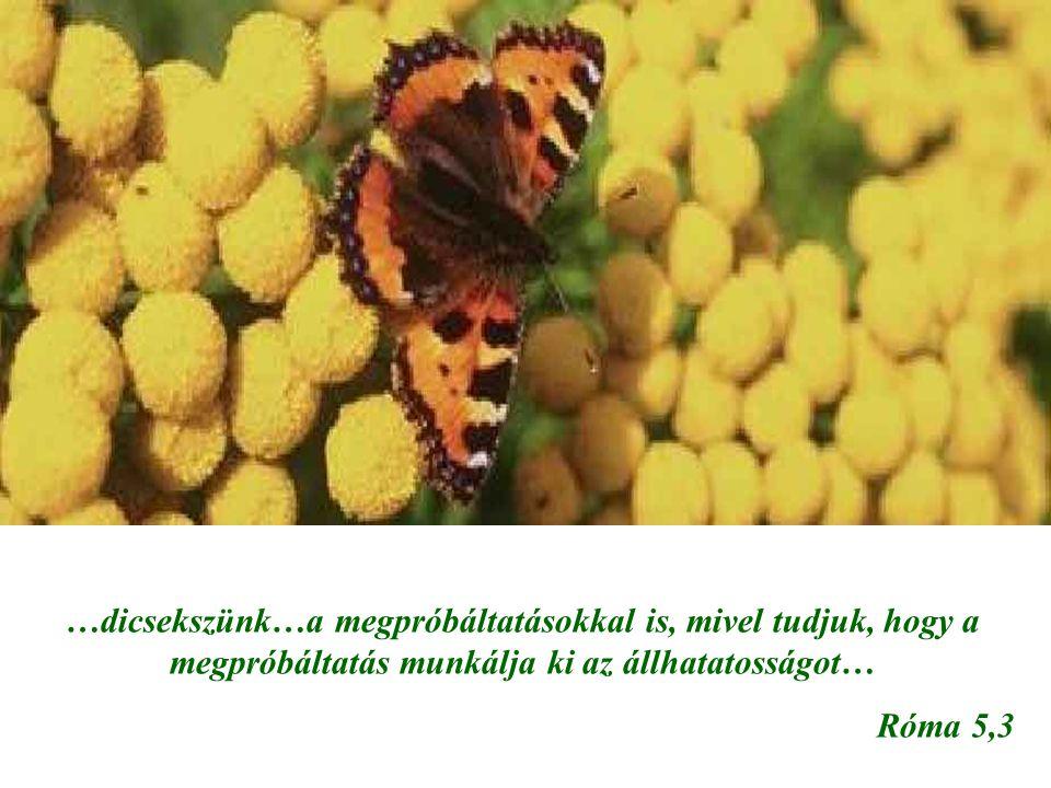 …dicsekszünk…a megpróbáltatásokkal is, mivel tudjuk, hogy a megpróbáltatás munkálja ki az állhatatosságot… Róma 5,3