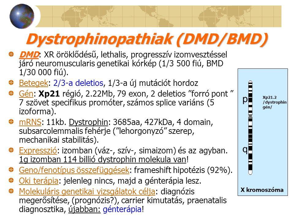 Dystrophinopathiak (DMD/BMD) DMD DMD: XR öröklődésű, lethalis, progresszív izomvesztéssel járó neuromuscularis genetikai kórkép (1/3 500 fiú, BMD 1/30
