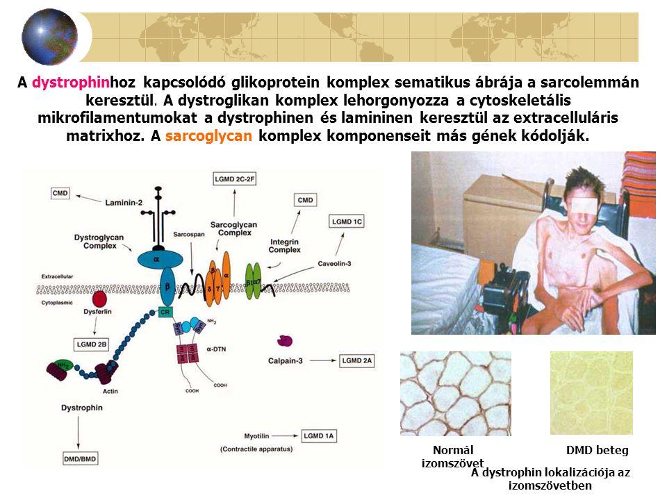 A dystrophinhoz kapcsolódó glikoprotein komplex sematikus ábrája a sarcolemmán keresztül. A dystroglikan komplex lehorgonyozza a cytoskeletális mikrof