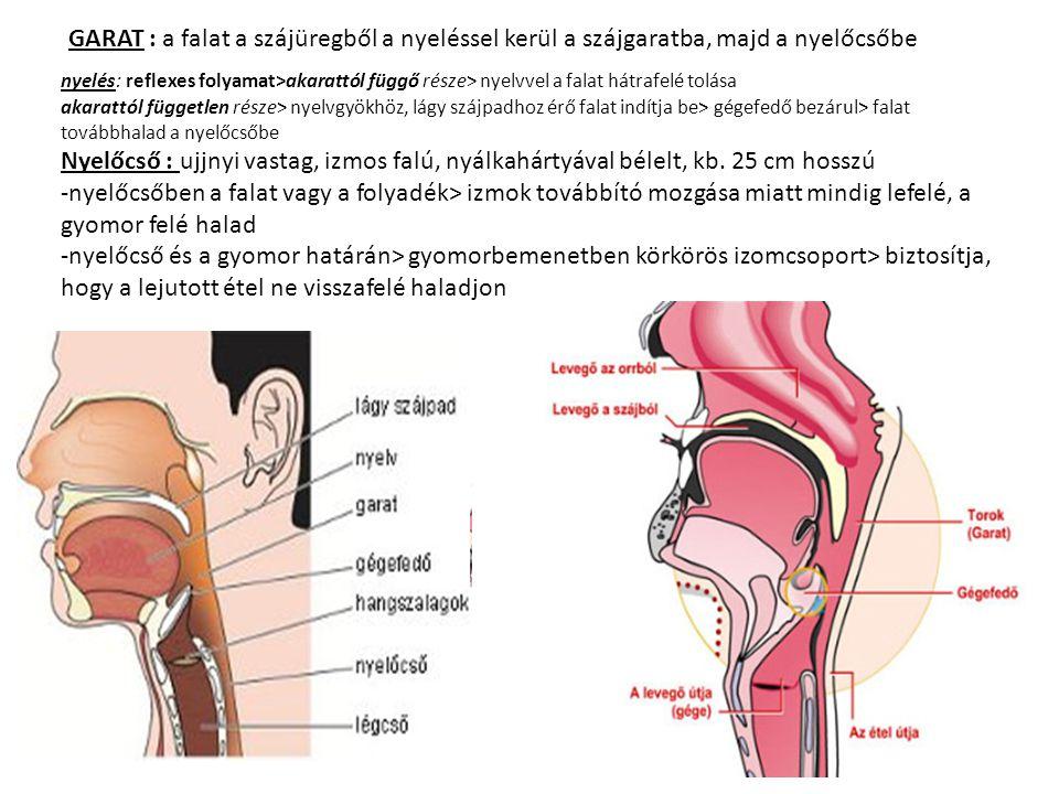 GARAT : a falat a szájüregből a nyeléssel kerül a szájgaratba, majd a nyelőcsőbe nyelés: reflexes folyamat>akarattól függő része> nyelvvel a falat hát