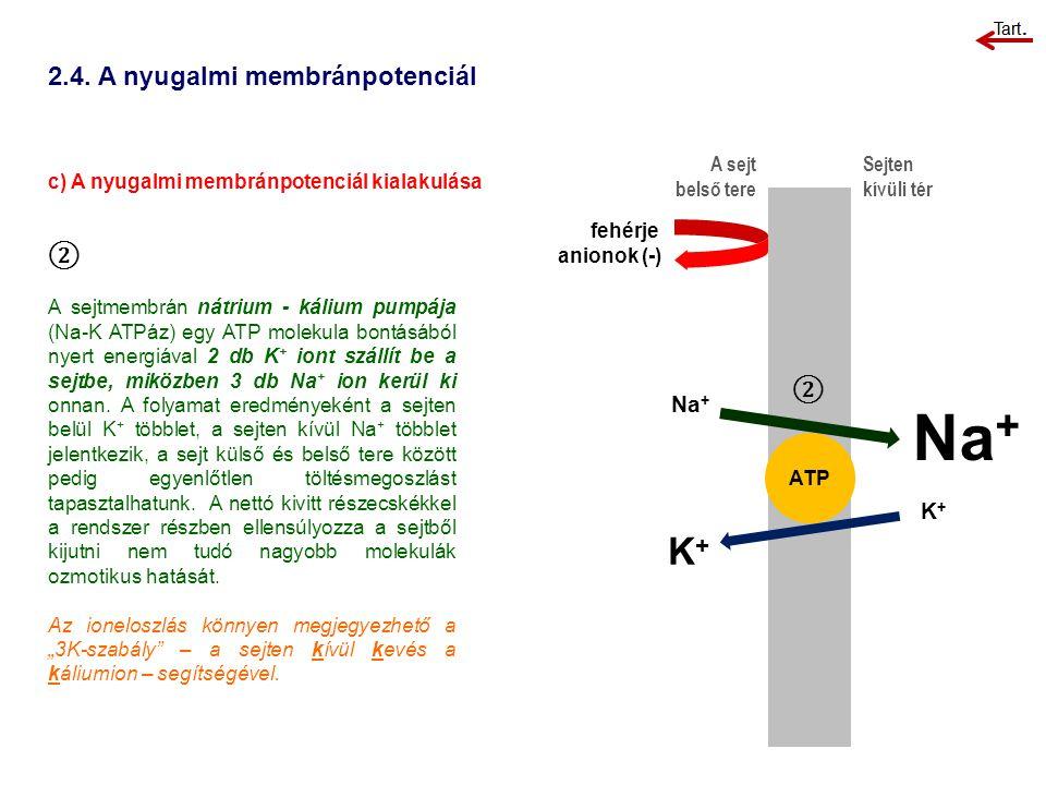 2.4. A nyugalmi membránpotenciál c) A nyugalmi membránpotenciál kialakulása A sejt belső tere Sejten kívüli tér ② A sejtmembrán nátrium - kálium pumpá